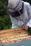 Lincoln & District Pest Control Services Lincolnshire - Honey Bees Rehived